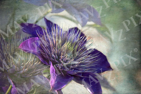 Clematis Photo Art on Canvas